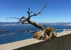 Berberaffen auf Gibraltar
